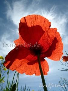 01530-Mohn-Blume