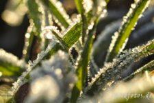 03034-getreidepflanze-eiskristalle-raureif