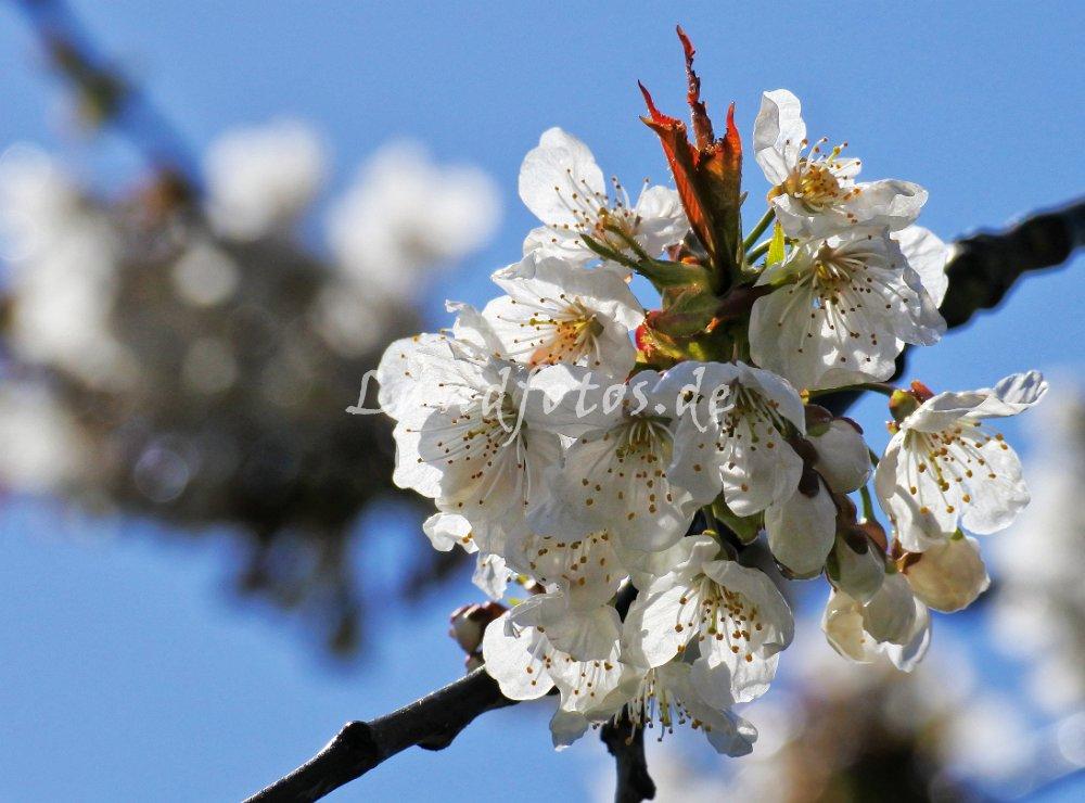 Die Kirschblüte beginnt in diesem Jahr schon zeitig. Ich wünsche allen ein schönes Osterfest und viel Freude an der blühenden Natur!