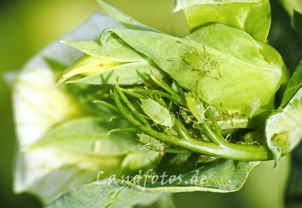 Grüne Erbsenläuse auf einer Erbsenblüte