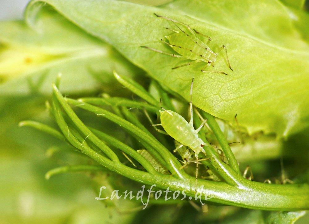 Die Grüne Erbsenlaus schädigt nicht nur durch Saugen, sondern ist auch ein wichtiger Virusüberträger.