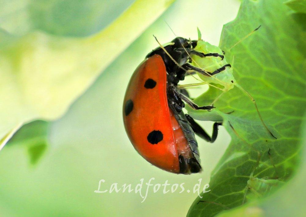 Marienkäfer frisst Erbsenblattlaus. Auch in den Körnerfuttererbsen sind in diesem Jahr schon sehr zeitig viele Blattlausfeinde zu finden.