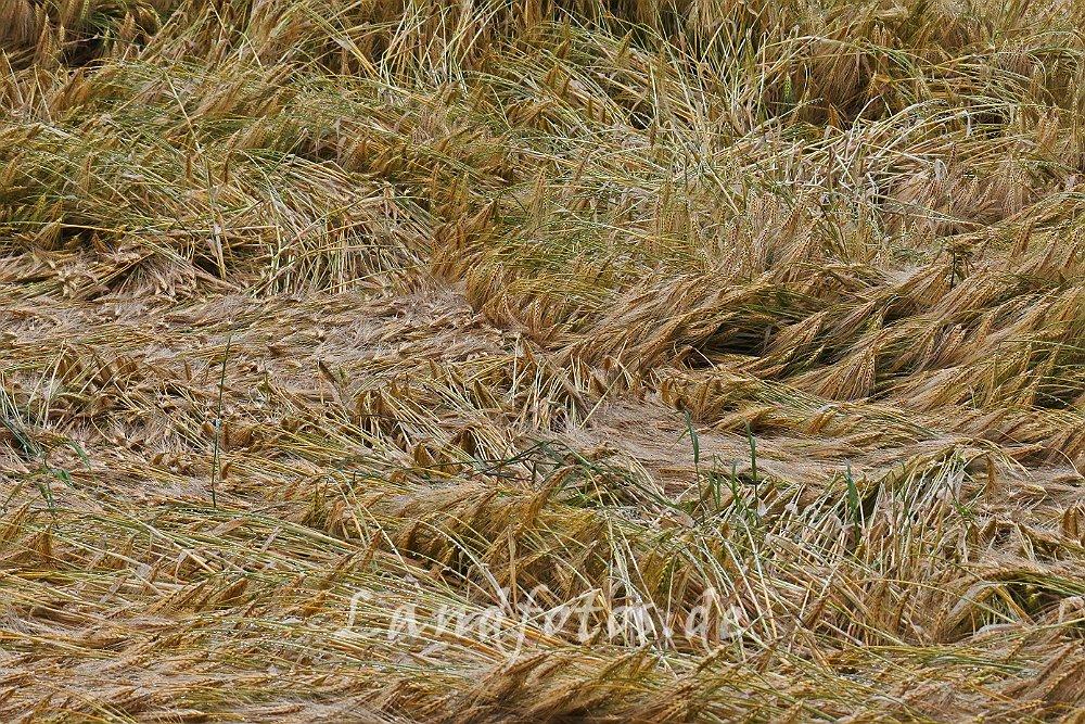 Die meisten Wintergerstenschläge sind durch die starken Niederschläge ins Lager gegangen.